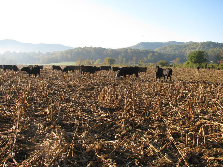 Cows on corn