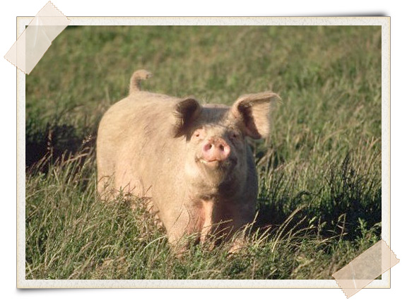 Integrated Pig Farming | A Growing Culture