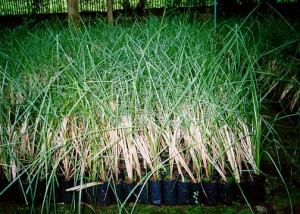 Vetiver Propgation