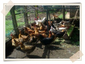 Investing In Indigenous Chicken for Sustainable Livelihoods