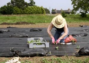 Planting seedlings