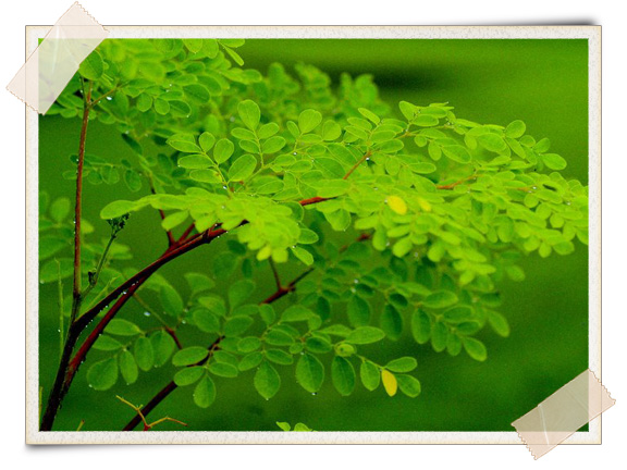 Moringa oleifera: The Miracle Tree