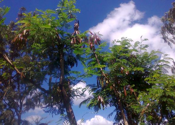 Luceana Tree