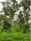 Perennial Peanut Project