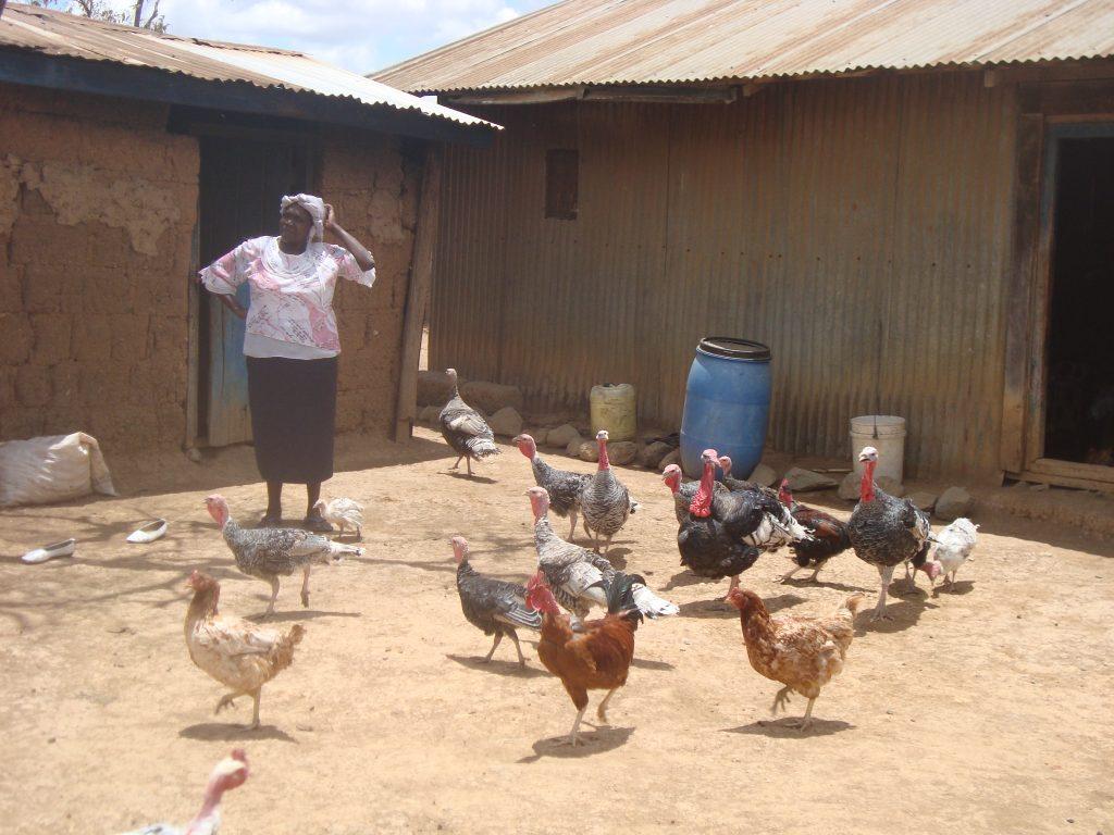 Chicken Turkey Brooding