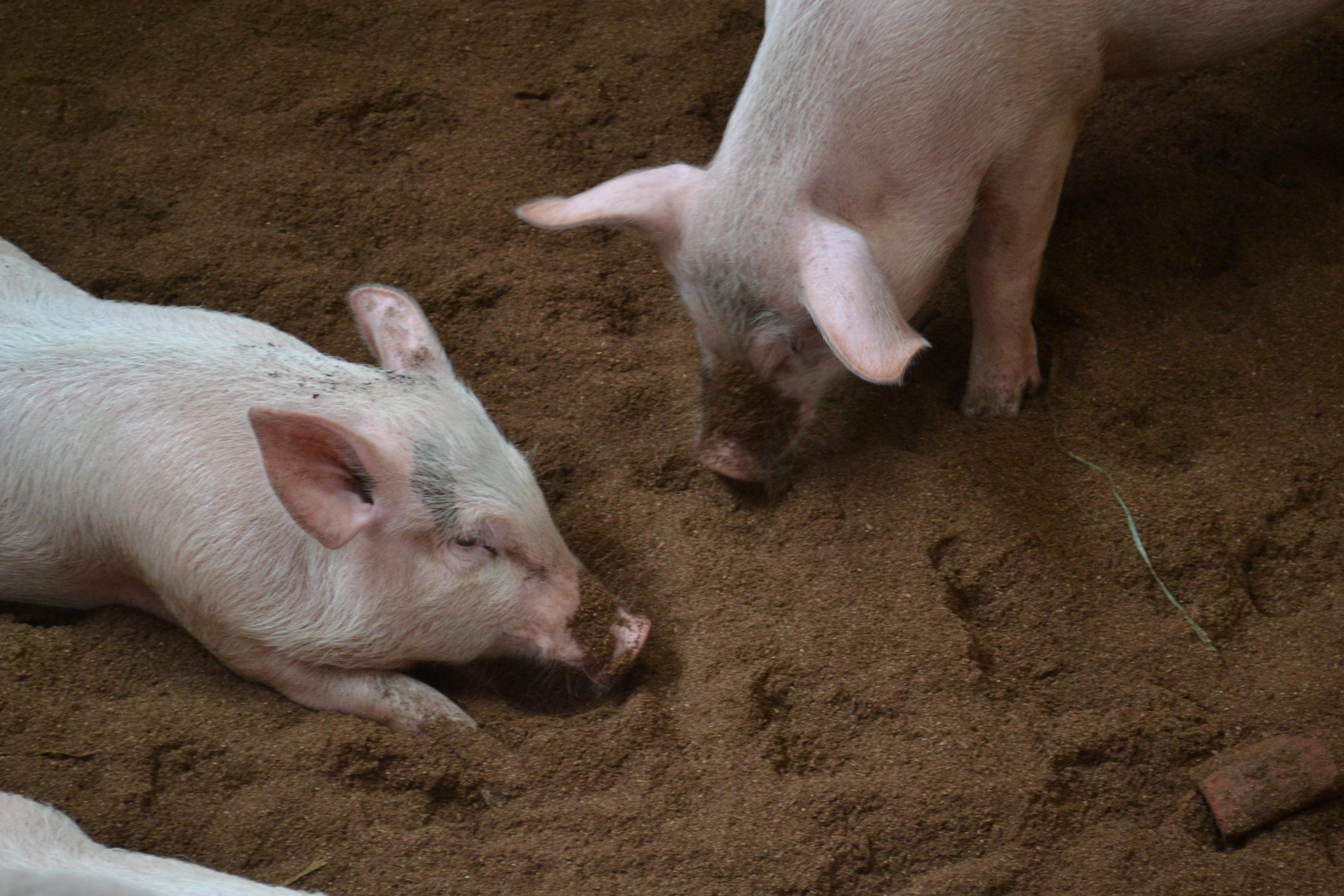 Bio Bed Hog Farm