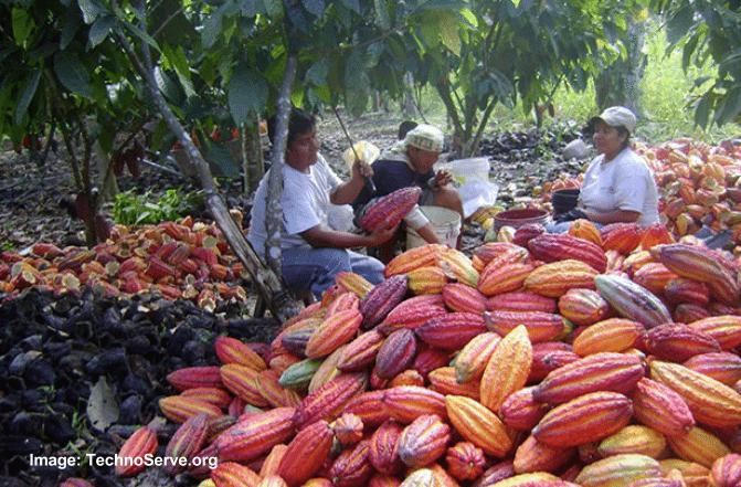 Cocoa Tree Pruning in Peru